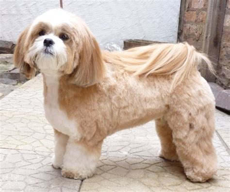Shih Tzu Lhasa Apso Shedding by Best 25 Lhasa Apso Ideas On