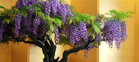 glicine in vaso coltivazione glicine bonsai consigli utili sulla coltivazione