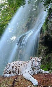 Wildlife photography of white tiger resting on log   Pikrepo