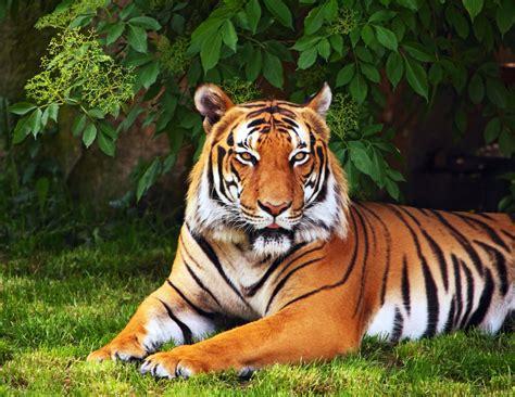Animals Tiger Tree Leaves Grass Green Wallpaper Widescreen
