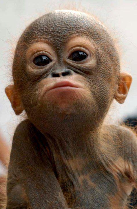 cute baby orangutang luvbat