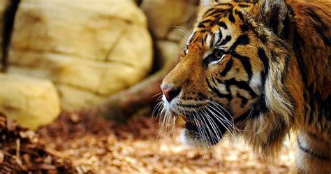 tiger face profile  ultra hd wallpaper ololoshenka