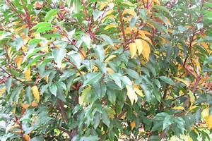 Portugiesischer Lorbeer Gelbe Blätter : portugiesischer kirschlorbbeer wird gelb mein sch ner garten forum ~ Eleganceandgraceweddings.com Haus und Dekorationen