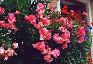 Oleander Düngen Mit Blaukorn : gel schter beitrag oleander kr nkelt mein sch ner ~ Lizthompson.info Haus und Dekorationen
