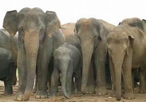 Asian Elephant   Animal Wildlife