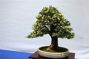 Ficus Bonsai Schneiden : bonsai schneiden anleitung ebooks kostenlos downloaden ~ Indierocktalk.com Haus und Dekorationen