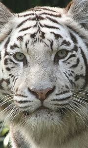 Fun & Interesting Facts About White Tigers   Tiger ...