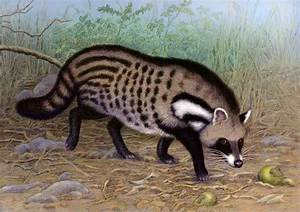African Civet Cat | www.imgkid.com - The Image Kid Has It!