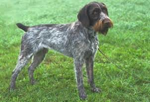 german wirehaired pointer history personality appearance