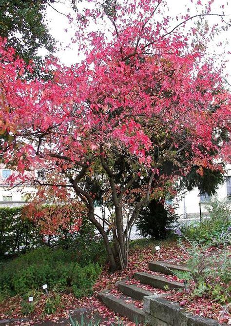 Kleiner Garten Im Herbst by Kleiner Garten Acer Ginnala Feuerahorn Rote Blaetter Im
