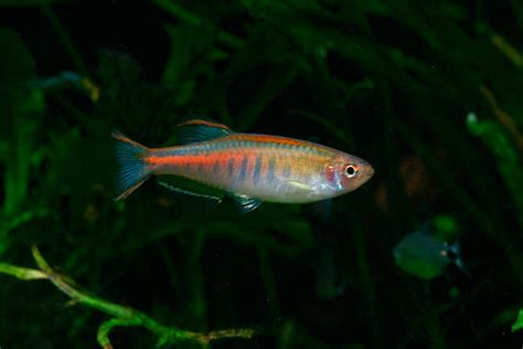 celestichthys choprae glowlight danio danio choprae