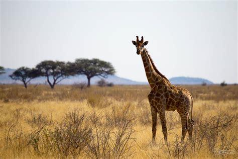 Où Faire Un Safari En Afrique  Notre Top 5 Des Safaris