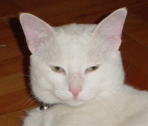 white cats file white cat jpg
