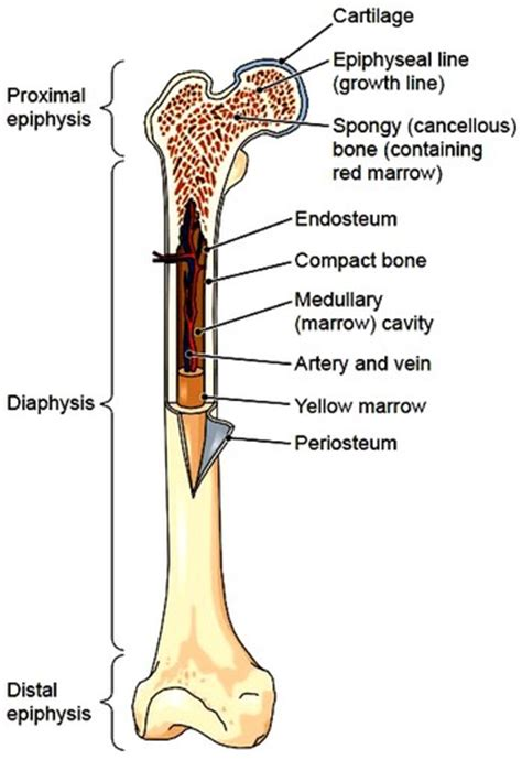 Simple Bone Diagram by Bones Bones Structure Bone Tissue Bone Membranes