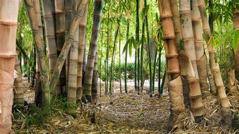 bamboo forest hd wallpaper pixelstalknet