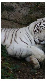 Sleeping White Tiger Animals of Audubon Zoo New Orleans ...