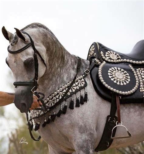 arabian saddle horses horse pferde under saddles tack arabische purebred adorable elegant animals
