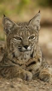 Desert Animals Bobcat