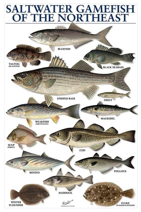 water saltwater gamefish   northeast fish