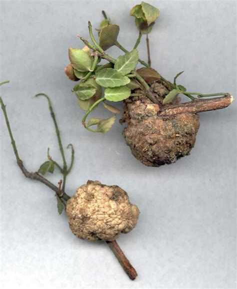 Crown Galls