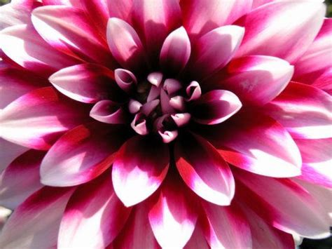 big flowers big flower amalia morsi flickr