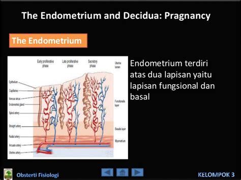 Janin 8 Bulan Aktif The Endometrium And Decidua Pregnancy