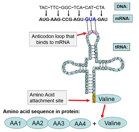the enzyme uses atp to unwin dna template dna genetics and evolution