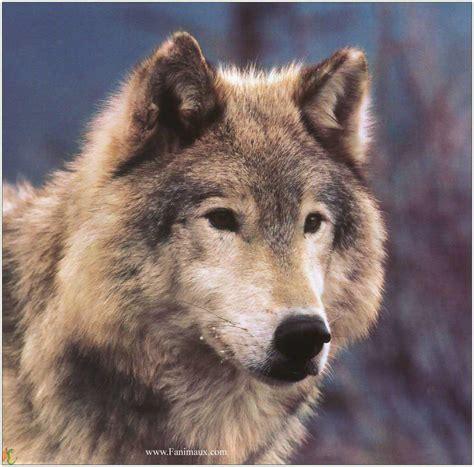 le loupe de bureau l esprit des anges 2 quand la peur du loup