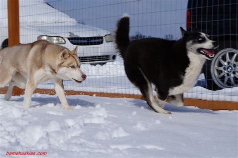 snow dogs  action siberian husky puppies  sale