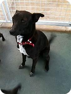 Oreo | Adopted Puppy | burbank, CA | Italian Greyhound ...