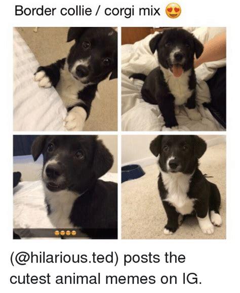 Border Collie Meme - border collie corgi mix posts the cutest animal memes on ig corgi meme on me me