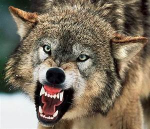 Angry Wolves Pictures images