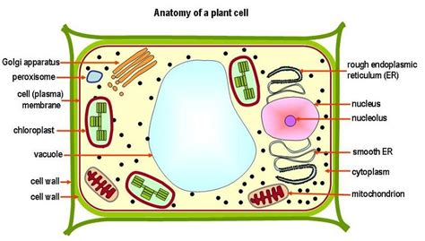 Plant Cell Diagrams For Kids  Printable Diagram