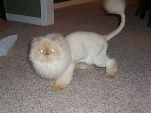 White Persian Cat Lion Cut Angora Animal Online - Litle Pups