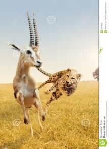 African Cheetah Hunting Gazelle