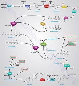 Cholesterol  Synthesis  Metabolism  Regulation