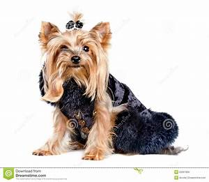 Yorkshire Terrier Dog In Black Clothes Royalty Free Stock ...