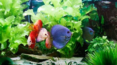 colorful aquarium fish 15 attractive colorful freshwater fish and how to care