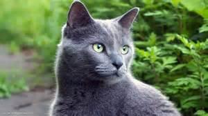 blue gray cat grey cat in nature 1920x1080 russian blue cat hd
