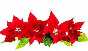 Weihnachtsstern Pflanze Kaufen : image gallery weihnachtsstern ~ Michelbontemps.com Haus und Dekorationen