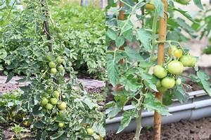Wann Wein Pflanzen : tomaten ausgeizen ja oder nein ab wann bebilderte anleitung ~ Orissabook.com Haus und Dekorationen