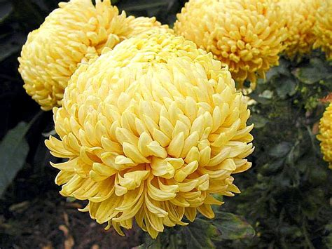 pictures of mums flowers file mums several flowers yellow jpg wikimedia commons