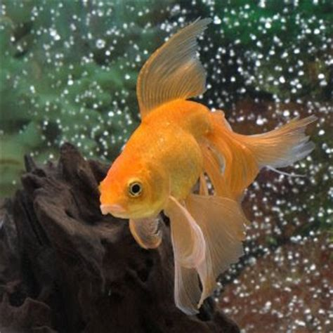 water life fantail gold fish