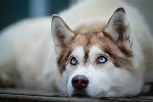 Top 10 Benefits Of Having A Siberian Husky - Siberian ...