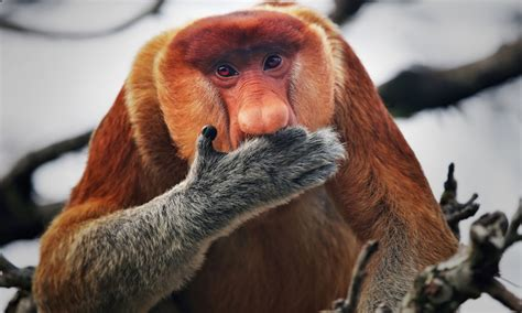 proboscis monkey primate   monkey  borneos long