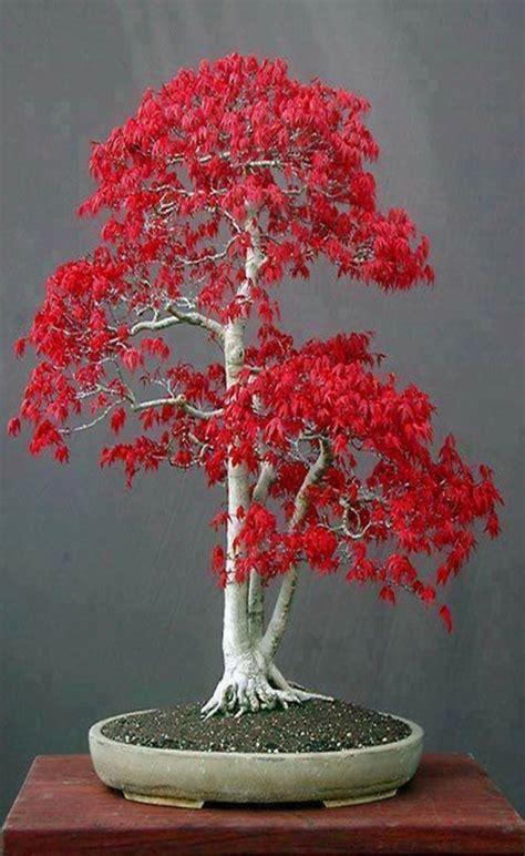 Bonsai Baum Preis by Best 25 Bonsai Tree Price Ideas On Japanese