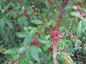 Green Shrub with Red Berries Bush