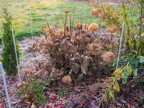 hortensien schneiden wann und wie zurueckschneiden plantura