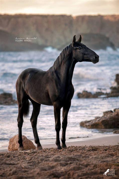 majestic horse horses nekane menorquina wild pretty lanks
