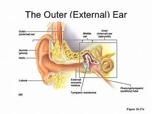 Ear Nose And Throat Connection Diagram
